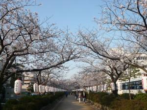 段蔓の桜V1 26-4-1